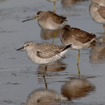 Red Knot with Long-billed Dowitcher